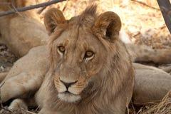 雌狮,正面 图库摄影