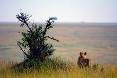 雌狮,马赛马拉比赛储备,肯尼亚 图库摄影