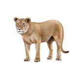 雌狮-在前面的豹属利奥 免版税库存图片