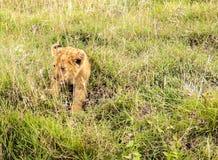 雌狮婴孩休息 库存图片