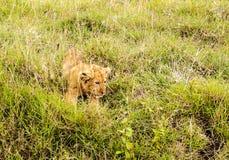 雌狮婴孩休息 免版税库存照片