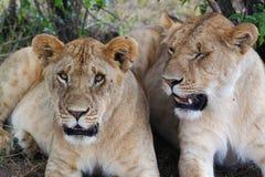雌狮-徒步旅行队肯尼亚 免版税图库摄影