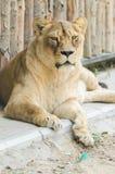雌狮画象 免版税库存照片