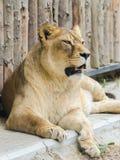 雌狮画象 免版税库存图片