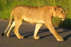 雌狮(豹属利奥)在克留格尔国家公园 免版税库存图片