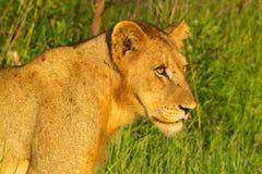 雌狮(豹属利奥)在克留格尔国家公园 免版税图库摄影
