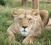 雌狮(豹属利奥) 免版税图库摄影