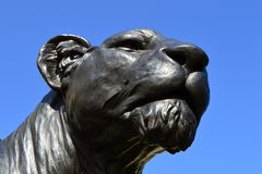 黑雌狮 免版税库存照片