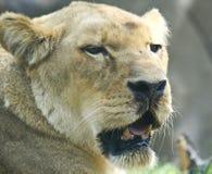 雌狮 图库摄影