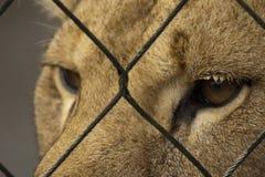 雌狮 免版税图库摄影