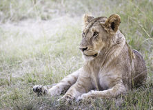 雌狮 免版税库存照片