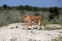 雌狮 库存照片