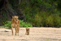 雌狮& Cub (豹属利奥) 库存图片