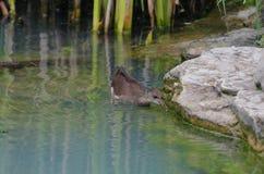 雌红松鸡一只小的鸡  图库摄影