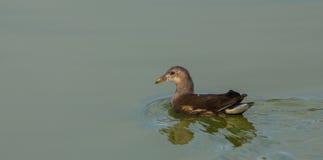 雌红松鸡在寂静的水域中 图库摄影