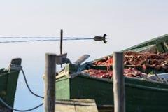 雌红松鸡在镇静盐水湖在黎明 免版税图库摄影