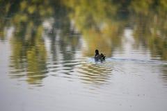 雌红松鸡小鸡,与一红色额嘴Gallinula chloorpus游泳的野鸭在狂放的池塘 r 图库摄影