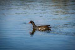 雌红松鸡或沼泽母鸡Gallinula在湖的chloropus游泳-与红色和黄色额嘴的黑鸟- Ica,秘鲁 库存图片
