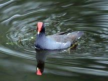 雌红松鸡鸭子游泳 免版税库存照片