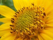 雌蕊向日葵 库存图片