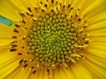 雌蕊向日葵 库存照片