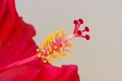 雌蕊和雄芯花蕊红色木槿特写镜头  免版税库存照片