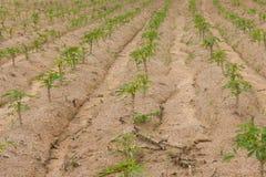雍木薯树在农场 库存照片