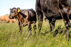 雍黑色在他的母亲母牛附近的安格斯小牛在草在好日子 免版税图库摄影