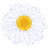 雏菊向量 库存照片