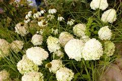 雏菊和八仙花属花束  库存照片