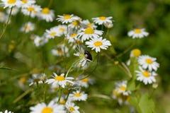 雏菊和变态solida 库存照片