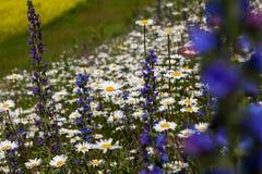 雏菊和开花的芥末的浩大的领域在俄罗斯 免版税库存图片