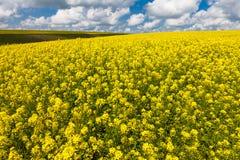 雏菊和开花的芥末的浩大的领域在俄罗斯 免版税图库摄影