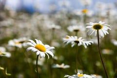 雏菊和开花的芥末的浩大的领域在俄罗斯 库存照片