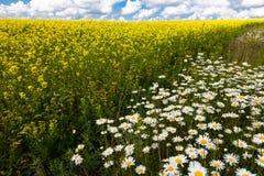 雏菊和开花的芥末的浩大的领域在俄罗斯 库存图片