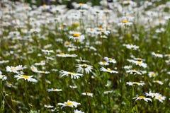 雏菊和开花的芥末的浩大的领域在俄罗斯 免版税库存照片