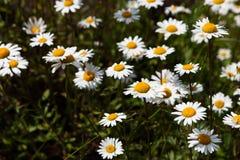 雏菊和开花的芥末的浩大的领域在俄罗斯 图库摄影