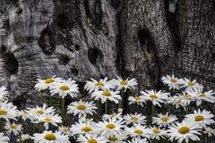 雏菊和树 免版税库存图片