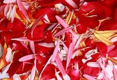 雏菊和玫瑰色花的瓣 免版税库存图片