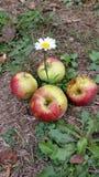 雏菊和苹果 库存图片