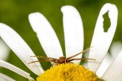 雏菊和菊科植物螃蟹蜘蛛 免版税图库摄影