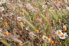 雏菊和钉在草甸特写镜头 库存图片