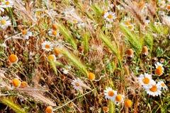 雏菊和钉在草甸特写镜头 免版税库存照片