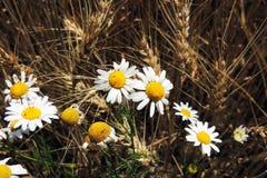 雏菊和麦子的耳朵 库存照片