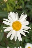 雏菊和绿色叶子-接近  免版税图库摄影