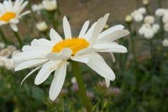 雏菊和绿色叶子-接近  库存照片