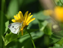 雏菊和蝴蝶 图库摄影