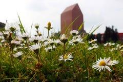 雏菊在城市 库存图片