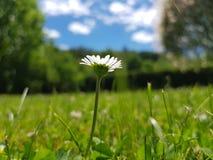 雏菊在夏天 免版税库存照片