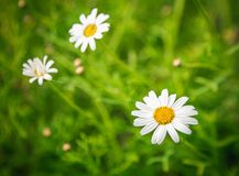 雏菊在太阳的花绽放 免版税库存图片